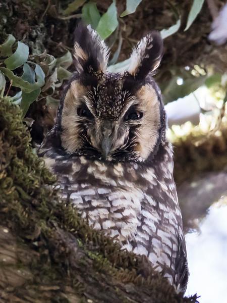 African Long-eared Owl (Abyssinian Owl)