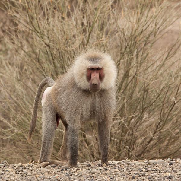 Sacred Baboon