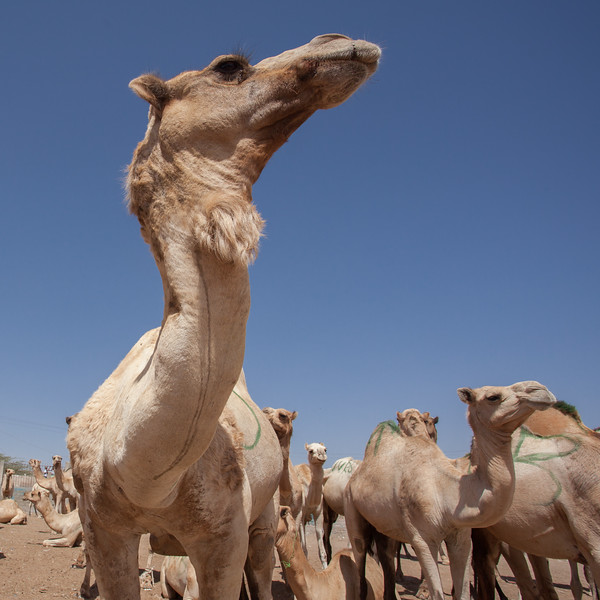 Trading Camels
