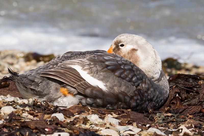 Falkland Steamerduck
