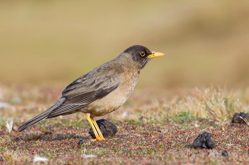 Falkland Thrush (Sub-species of Austral Thrush)