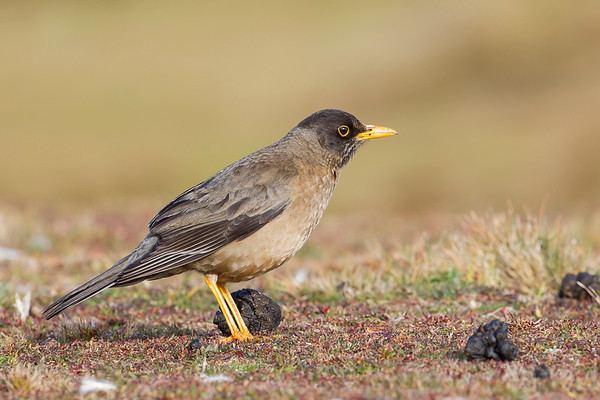 Falkland Thrush (Sub-species of Austral Thrush)