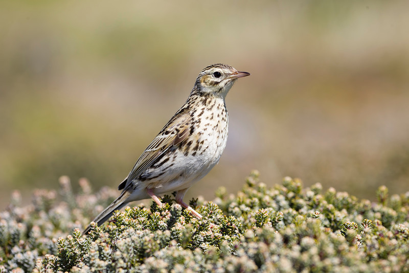 Correndera Pipit (Falkland Pipit)