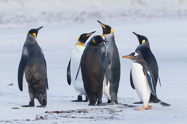 King & Gentoo Penguins