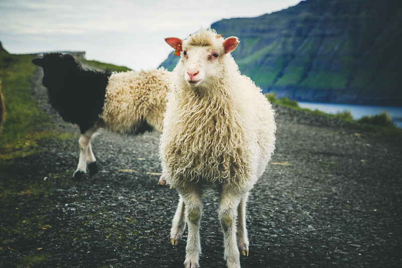 Faroese Sheep 2