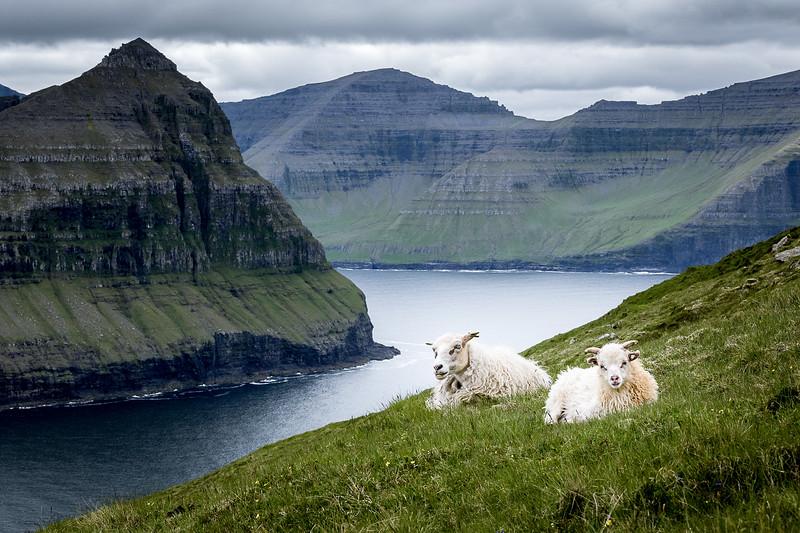 Resting Sheep