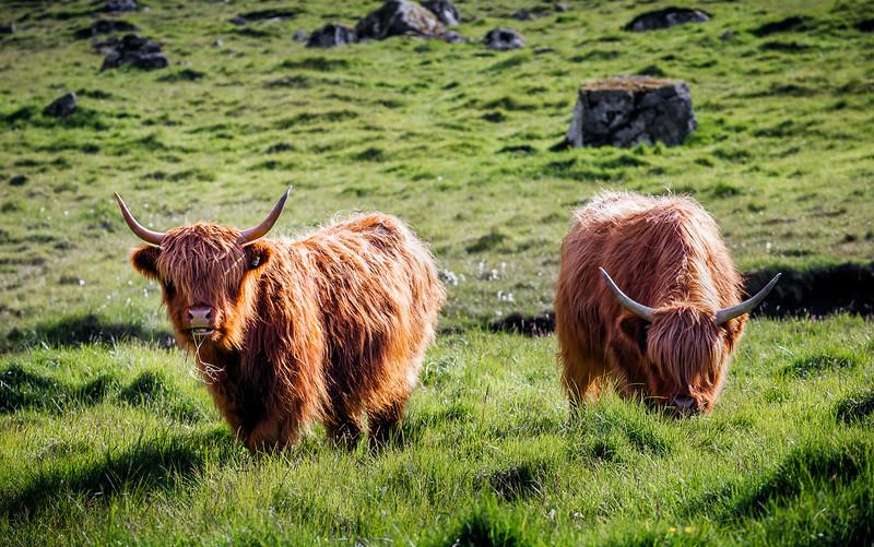 Highland Cattle Eating