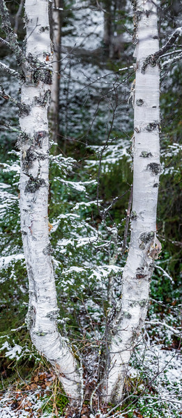 Birch tree in Pyhä-Luosto National Park.
