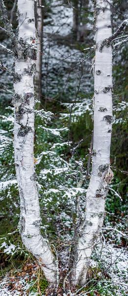Birch tree in Pyhä-Luosto National Park.