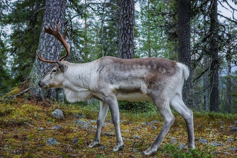 Reindeer walking in Pyhä Luosto National Park in Finland.