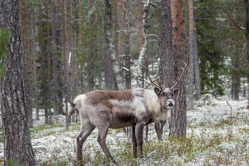 Reindeer walking in Pyhä Luosto National Park in Finland.