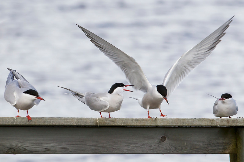 Arctic Tern & Common Tern