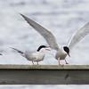 Arctic Tern & Common Tern