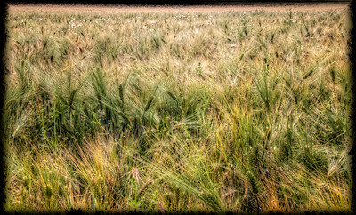 Field in summer, Finland - HDR.