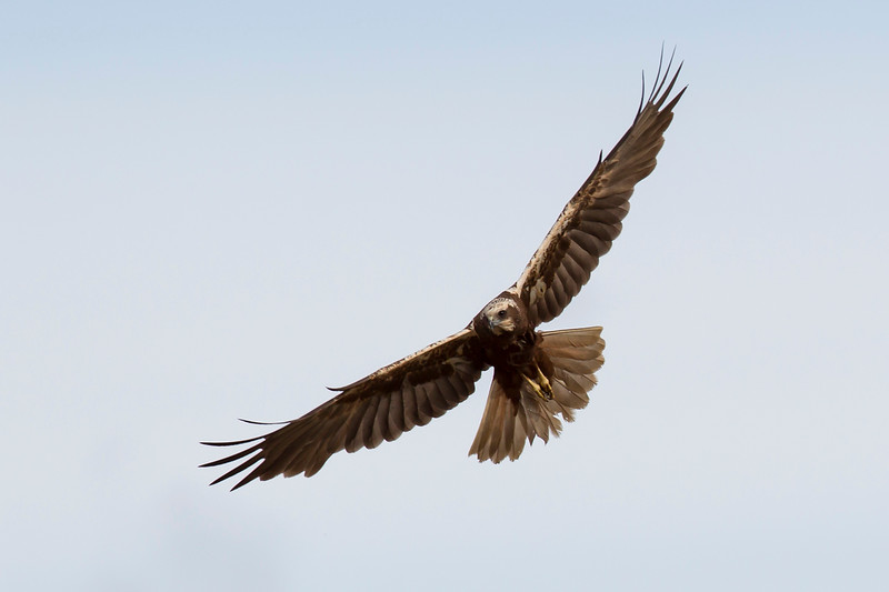 Western Marsh-harrier