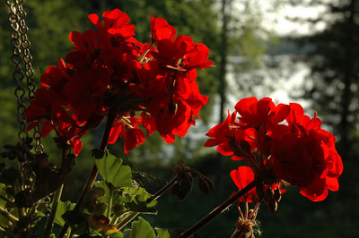 Flowers at summer cottage on the lake, Finland.