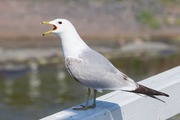 Mew Gull (Common Gull)