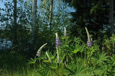 Flowers, birch tree and lake, Finland.