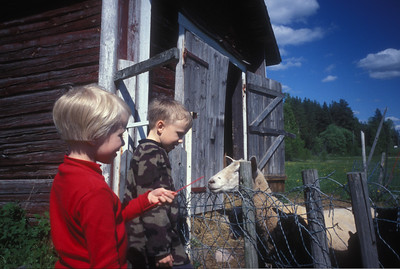 Children and sheep, rural Finland.
