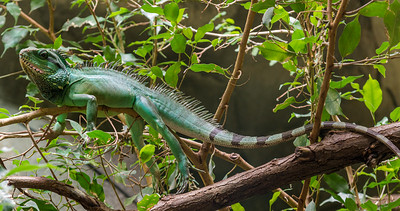 Cologne Green Iguana