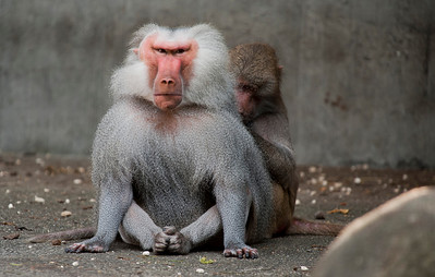 Baboons, Tierpark Hellabrunn, Munich, Germany.