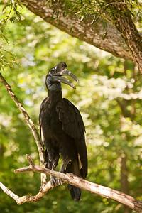 Hornbill, Tierpark Hellabrunn, Munich, Germany.