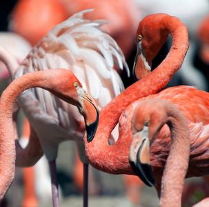 Flamingoes, Tierpark Hellabrunn, Munich, Germany.