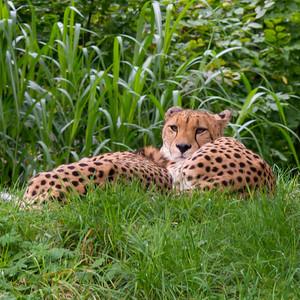 Cologne Leopard