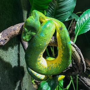 Cologne Green Tree Python