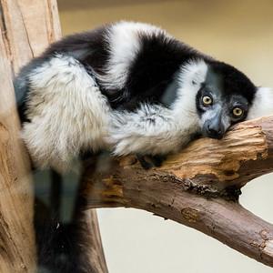 Cologne Lemur