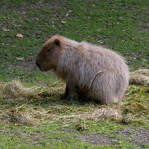 Cologne Capybara