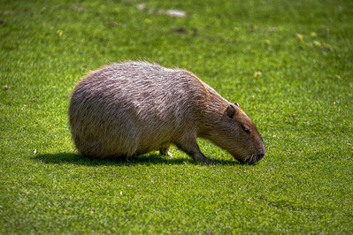 Prairie dog, Tierpark Hellabrunn, Munich, Germany.