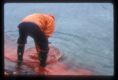 Aftermath of seal kill, Rodebay, Greenland.