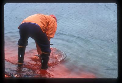 Aftermath of seal kill, Rodebay, Greenland.