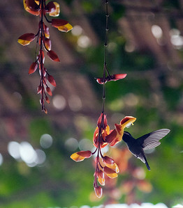 Hummingbird at Lake Atitlan, Guatemala.