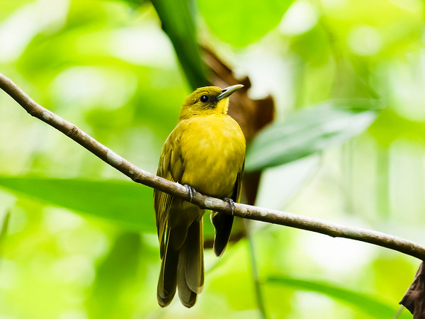 Halmahera Golden Bulbul, Kapsalelo, Halmahera, Indonesia 11 06 2019-8135-Edit