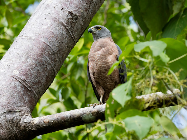 Grey-throated Goshawk, Kapsalelo, Halmahera, Indonesia 11 06 2019-8107-Edit