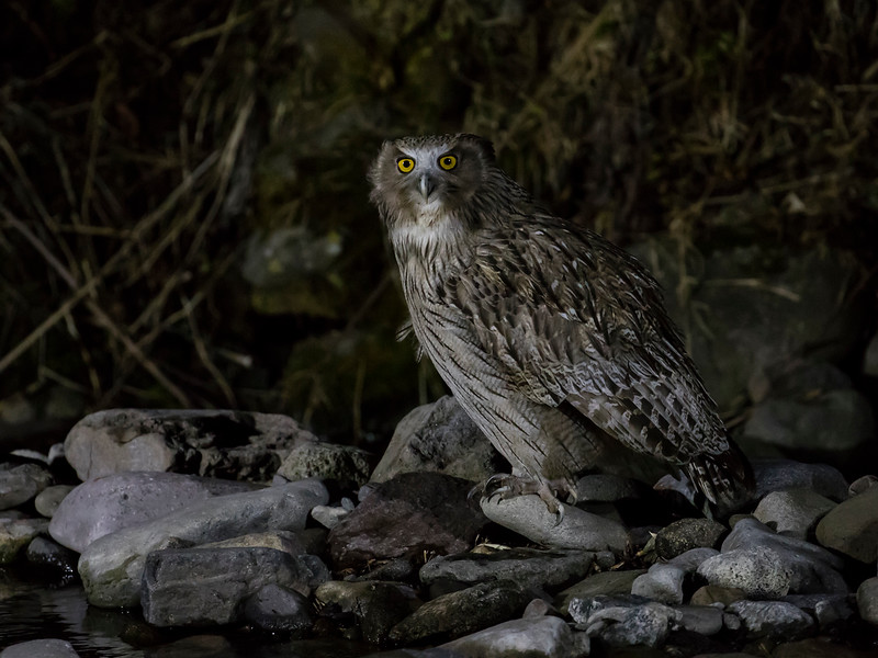 Blakiston's Eagle-owl