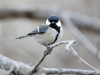 Eastern Great Tit
