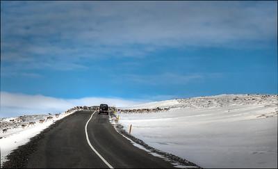 Reindeer crossing, rural Iceland