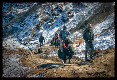 Yak Trail, Sikkim, India.