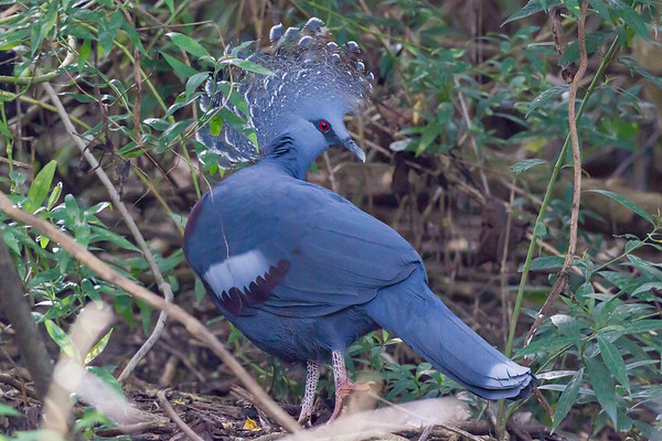 Victoria Crowned-pigeon (captive)