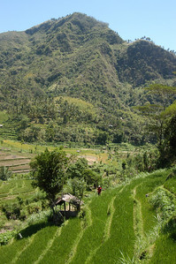 Rice terraces of northern Bali, Indonesia.