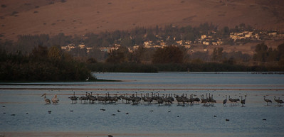Common Cranes and Pelicans are among many birds who migrate through Israel on their way from Northern Europe to Africa. We spent an hour at sunset as thousands of Cranes came in to spend the night in the Hula Lake. Amazing sounds and sights.