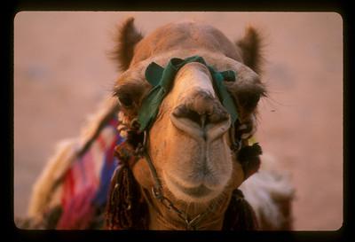 Camel, Petra, Jordan.