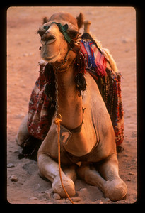 Camel for hire, Petra, Jordan.