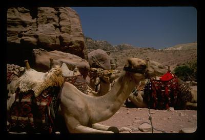 Camels for hire at Petra, Jordan.
