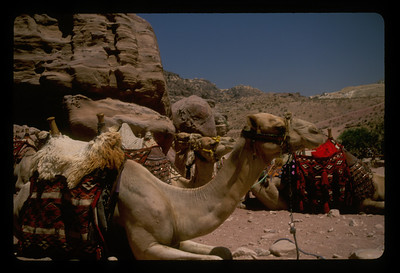 Camels for hire at Petra, Jordan.
