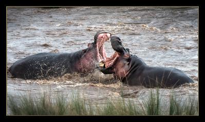 Hippo fight in the Mara River, Maasai Mara National Reserve, Kenya.