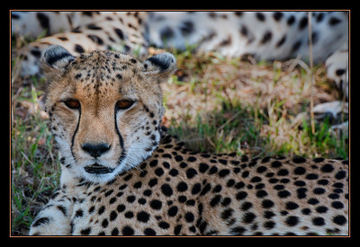 Cheetah resting at midday, Mara North Conservancy, Kenya.